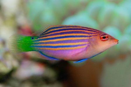 Sixline Wrasse Http Www Saltwaterfish Com Product Sixline Wrasse Saltwater Fish Tanks Wrasse Fish
