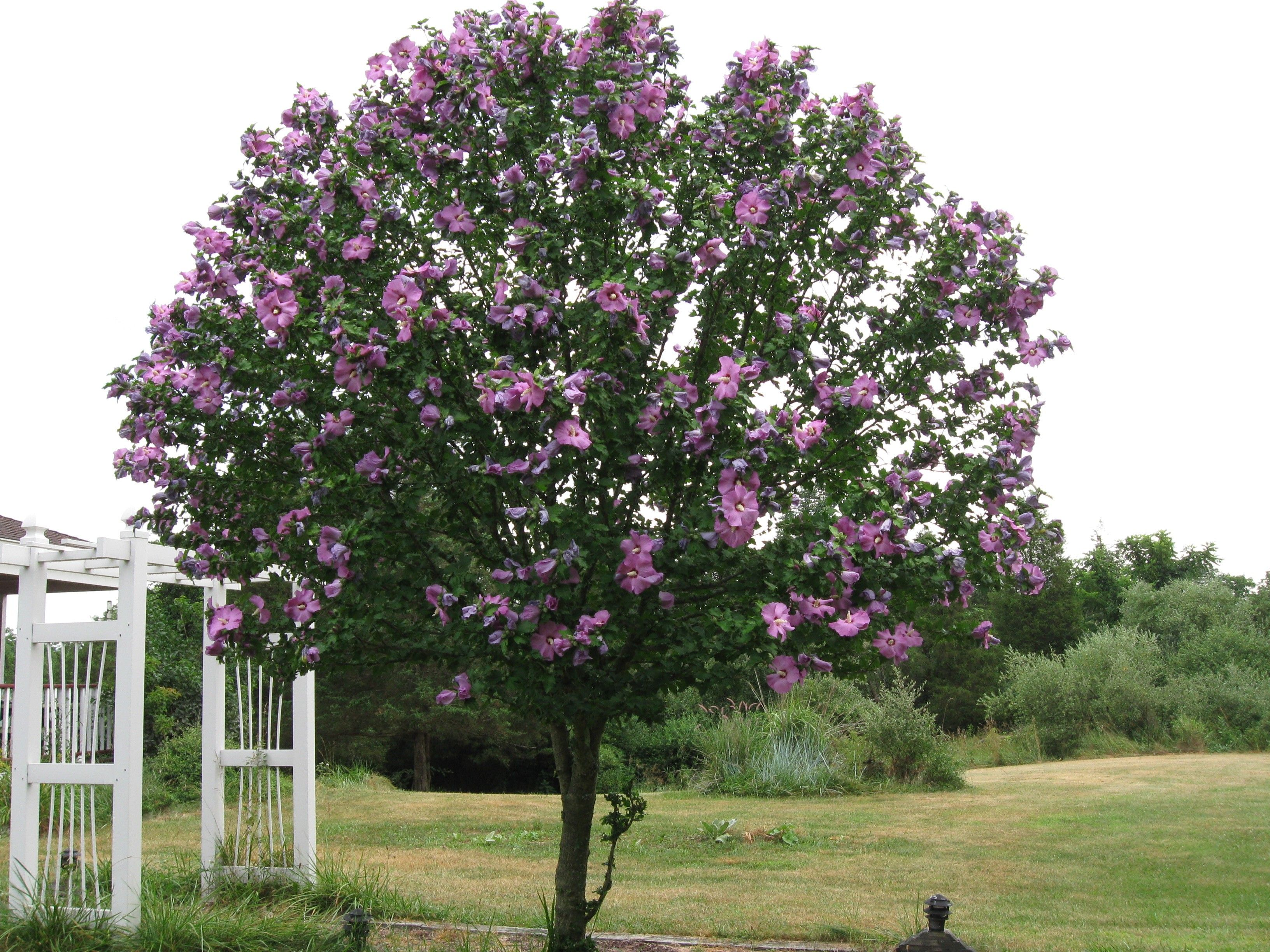 Purple Rose Of Sharon Pruned To Tree Shape By Local Deer