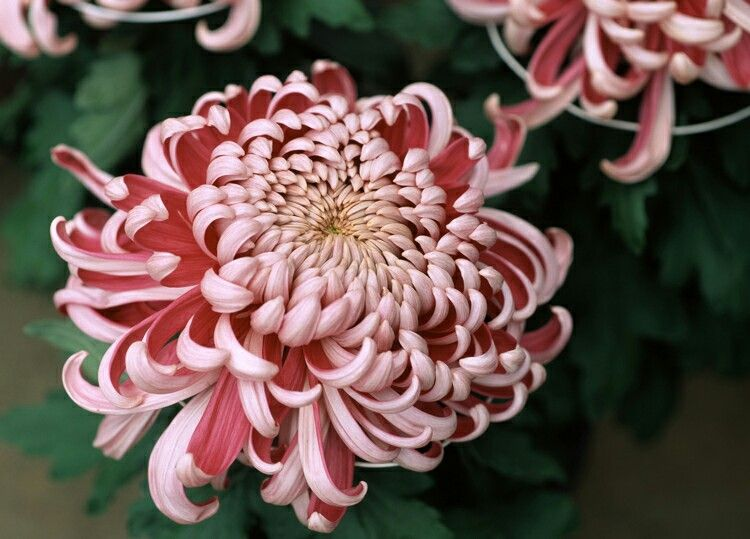 Beautiful pink and red Chrysanthemum Flower images, Red