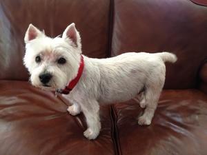 Adopt Missy Coming Soon On Petfinder Westie Dogs West Highland Terrier Quiet Girl