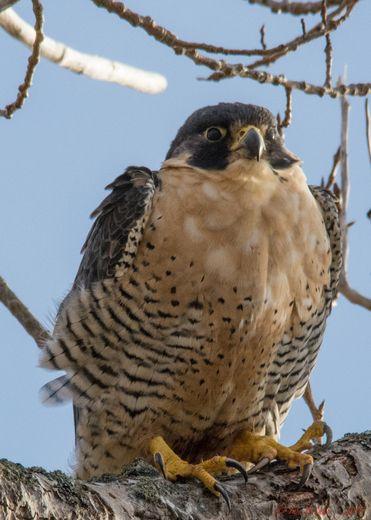 Canadian Geographic Photo Club - Peregrine Falcon