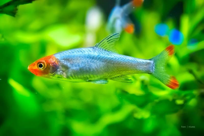 Sawbwa Resplendens Aquaticquotient Com Photo Gallery Aquarium Fish Glow Fish Fish Plants