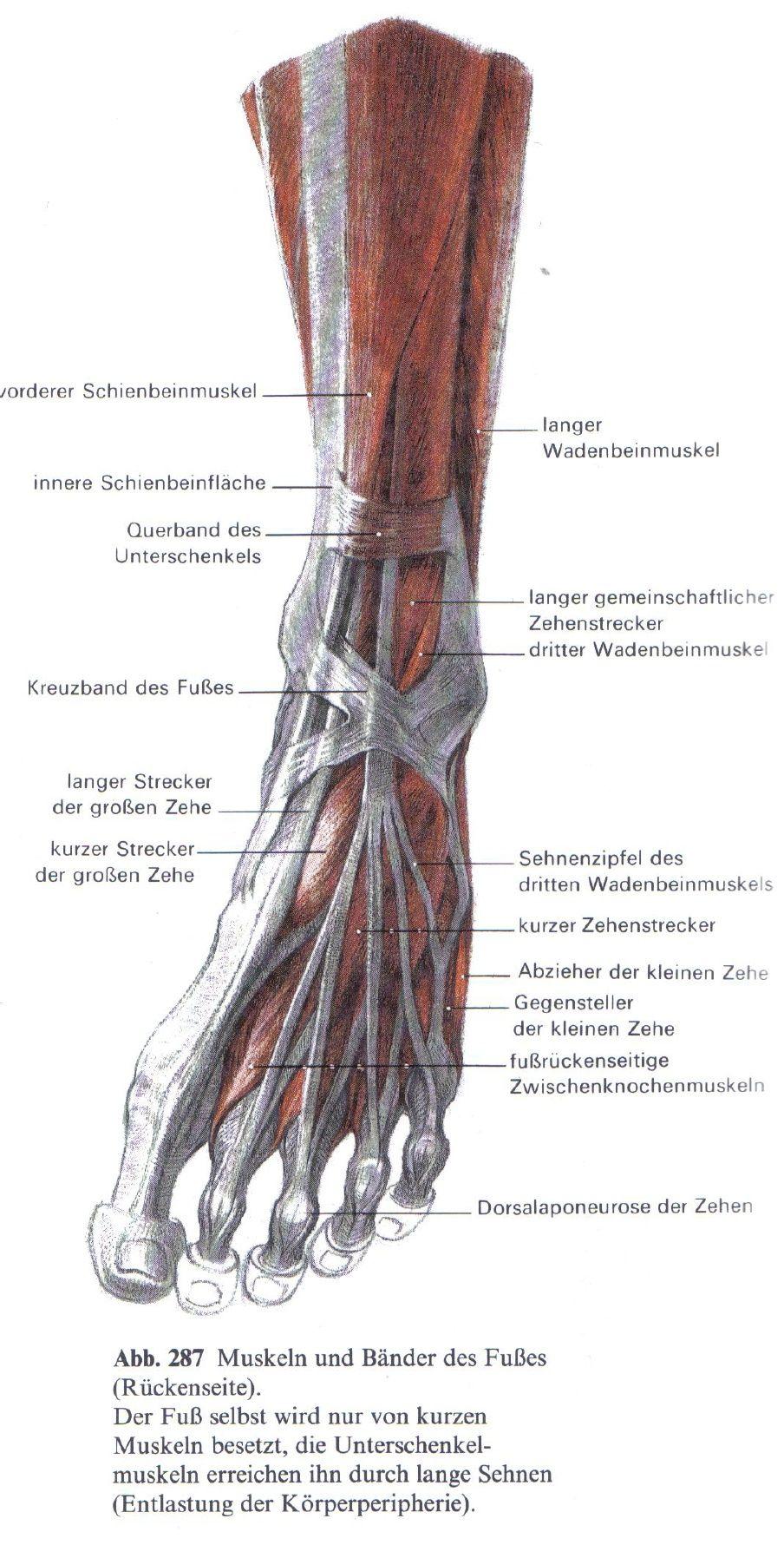 Schön Bänder Des Fußes Bilder - Menschliche Anatomie Bilder ...