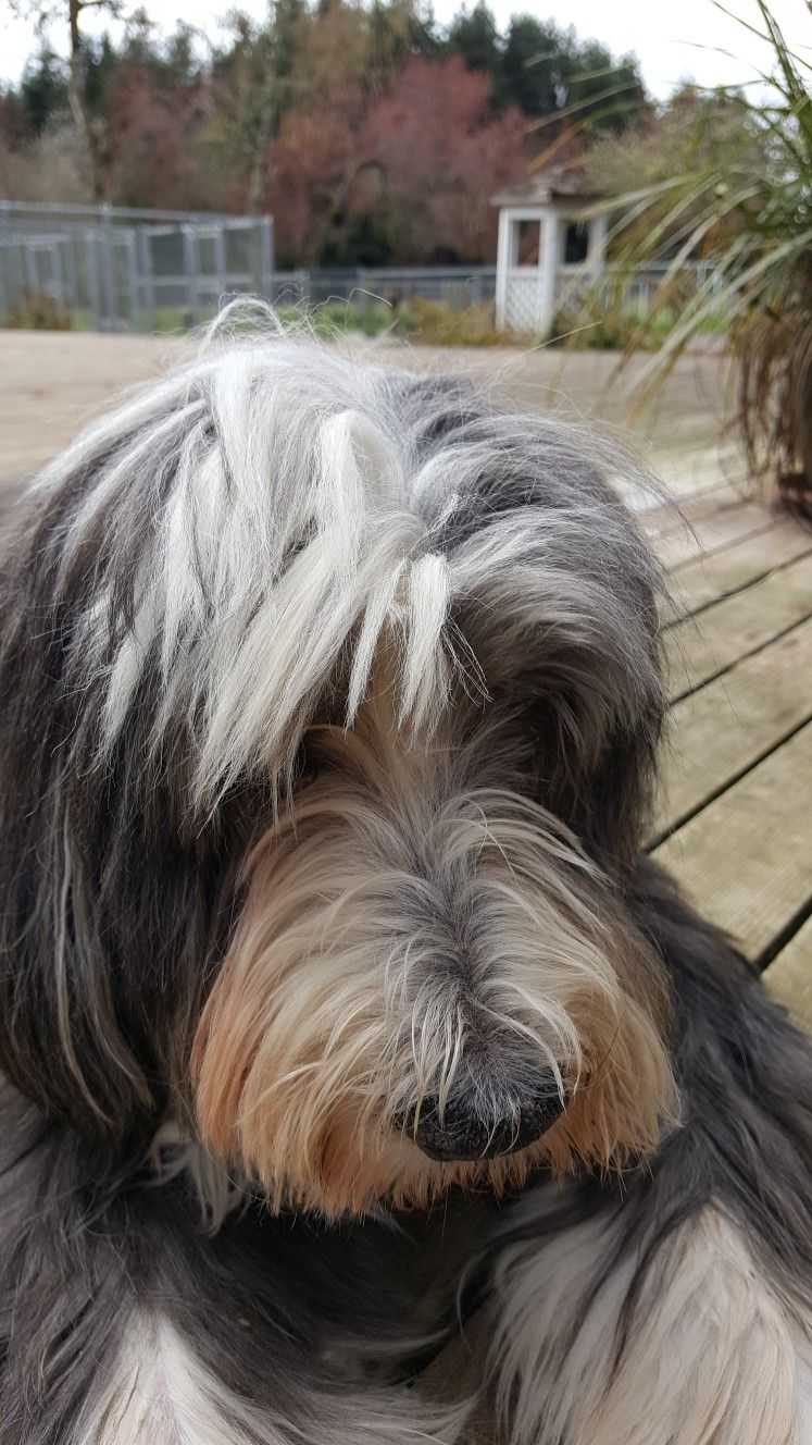 Colm 15 And A Half Bearded Collie Doggy Dogs