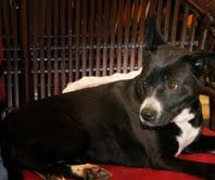 Jasmine is an adoptable Shepherd Dog in Colfax, IL. February 19, 2012, 8:20 pm...