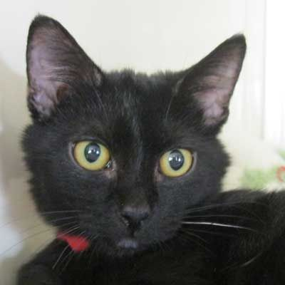 Adopt A Pet Cats And Kittens Cat Adoption Kitten Adoption