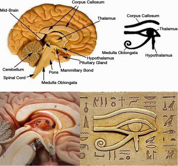 Keep your Third Eye Open - Foods That Activate And Decalcify Your Pineal Gland of the Endocrine System — MOT MAG