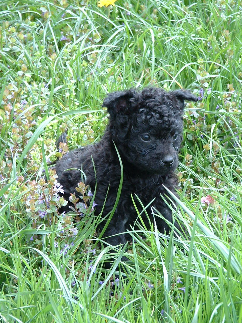 9 Beautiful Dog Snapshots Curly Haired Black Dog On Wooden Floor Pet Animal Canine In 2020 Poodle Beautiful Dogs Black Standard Poodle