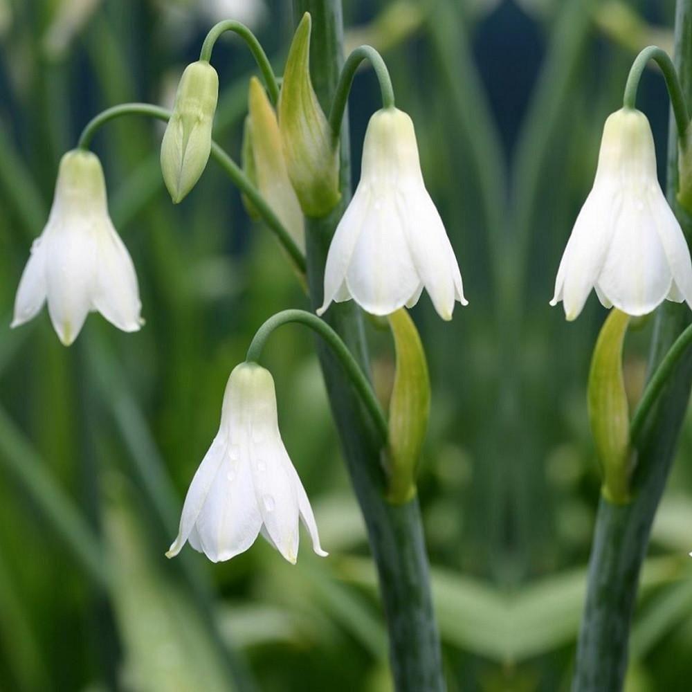 Galtonia Candicans Grow Bulbs Spring Flowering Bulbs And Plants