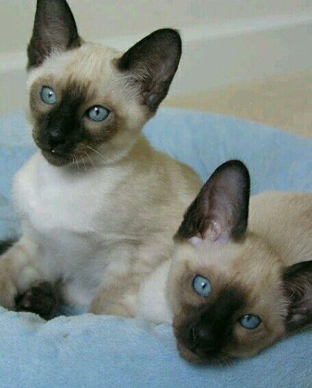 Siamese Gatos Siameses Gatos Mascotas