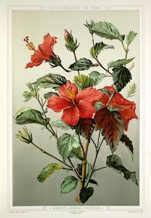 Hibiscus gnral courtigis illustrations flowers rhs prints hibiscus gnral courtigis illustrations flowers rhs prints ccuart Images