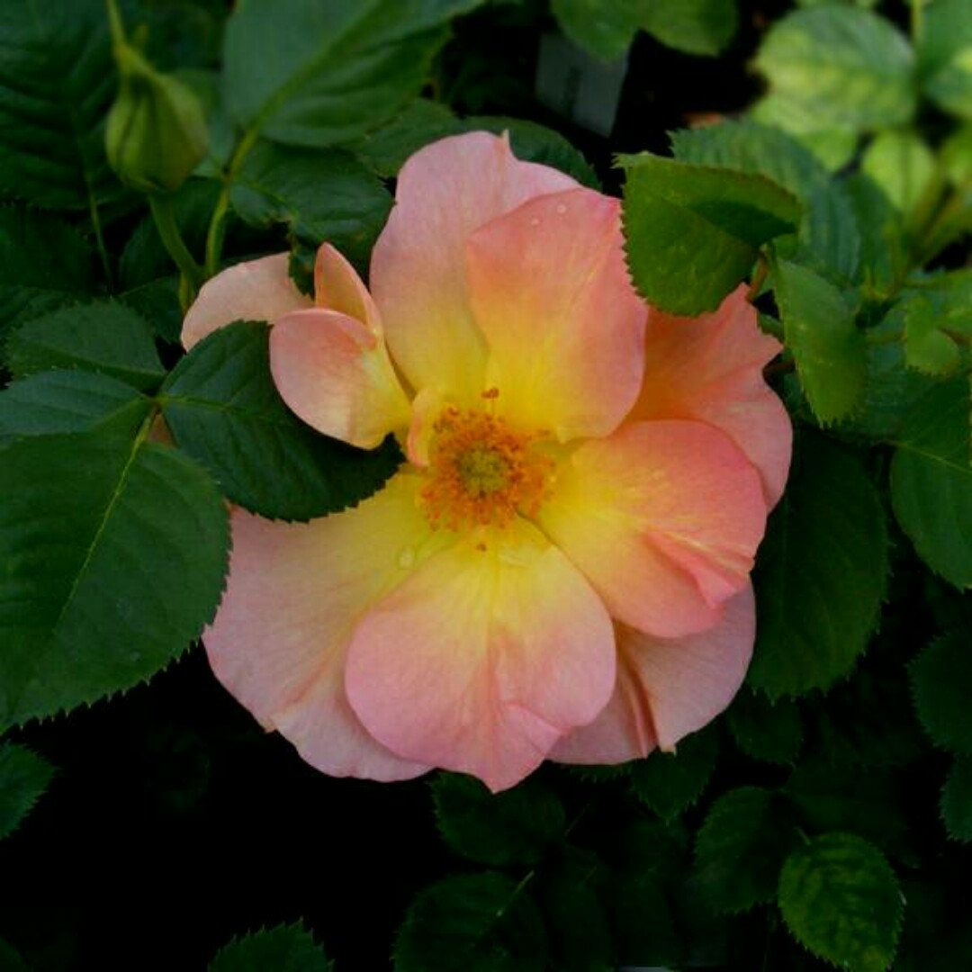 Just A Lovely Rose! Morden Sunrise Rose Is The Quintessential Low  Maintenance Rose; Super