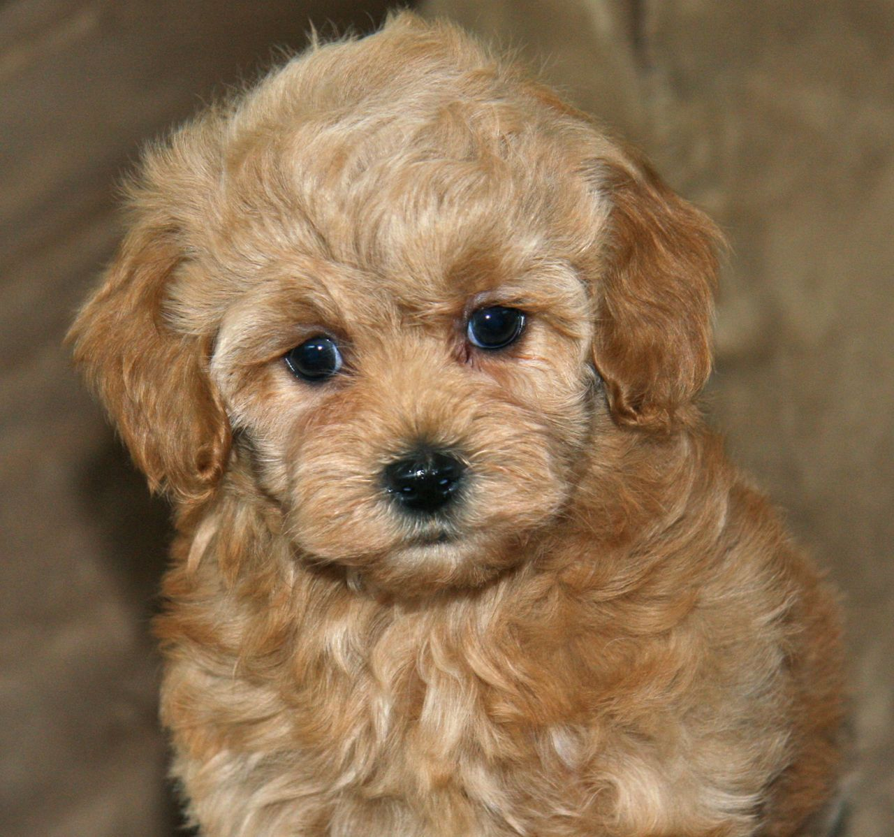 A Maltipoo Is A Cross Of What Dogs Apricot Maltipoo17 Maltipoo