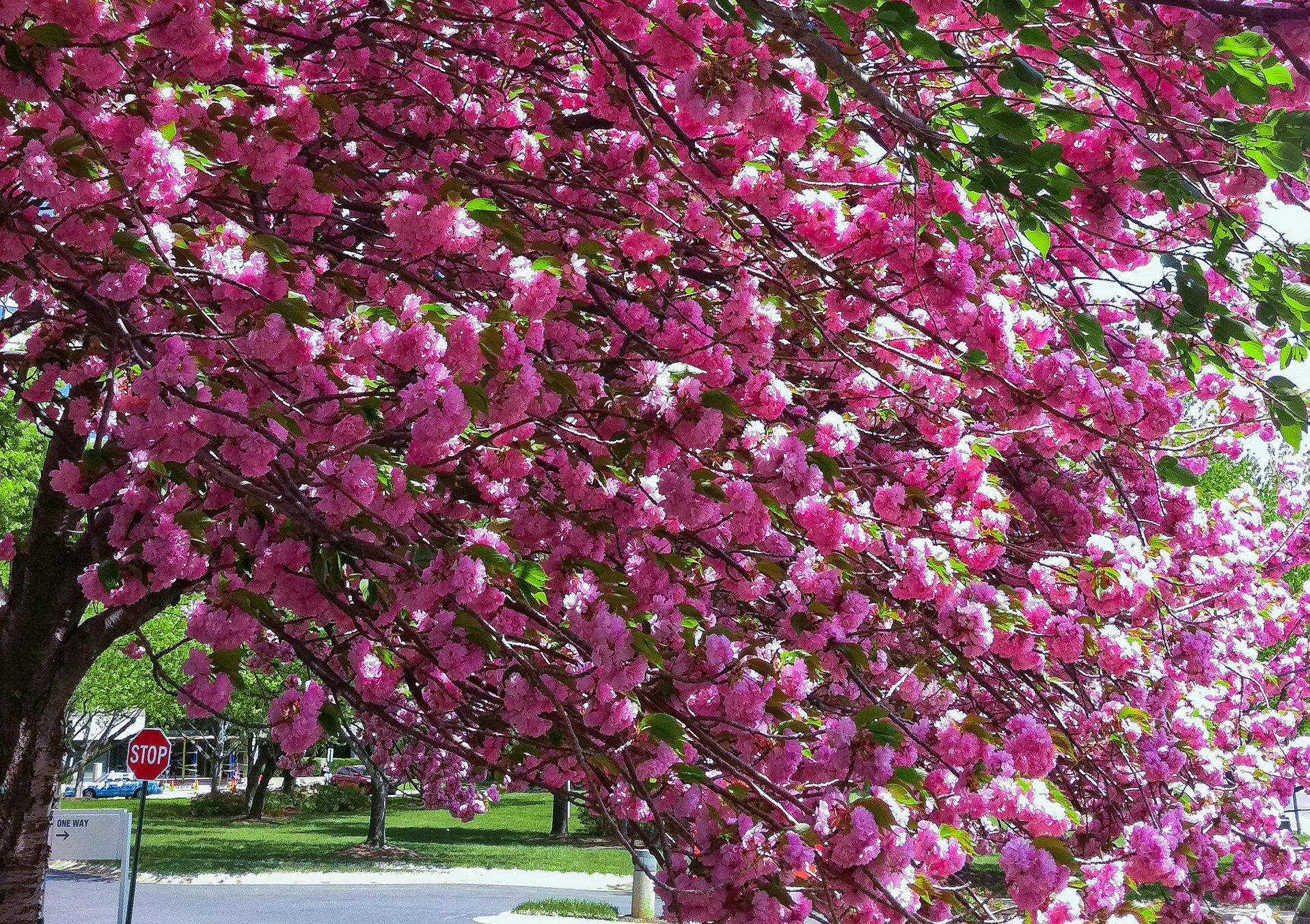 An Introduction To The Kwanzan Cherry Tree Flowering Cherry Tree Bonsai Tree Types Deer Resistant Garden