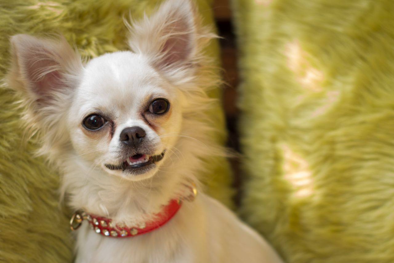 Tiny Pure White Chihuahua For Sale Kc Reg Chihuahua White