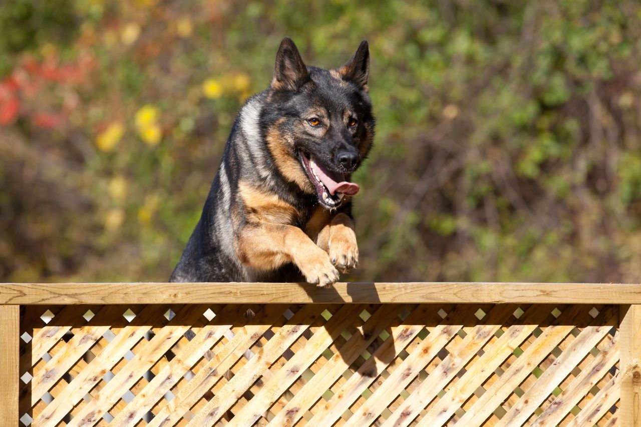 Handy Training Tips For Your German Shepherd To Be A Social Pet