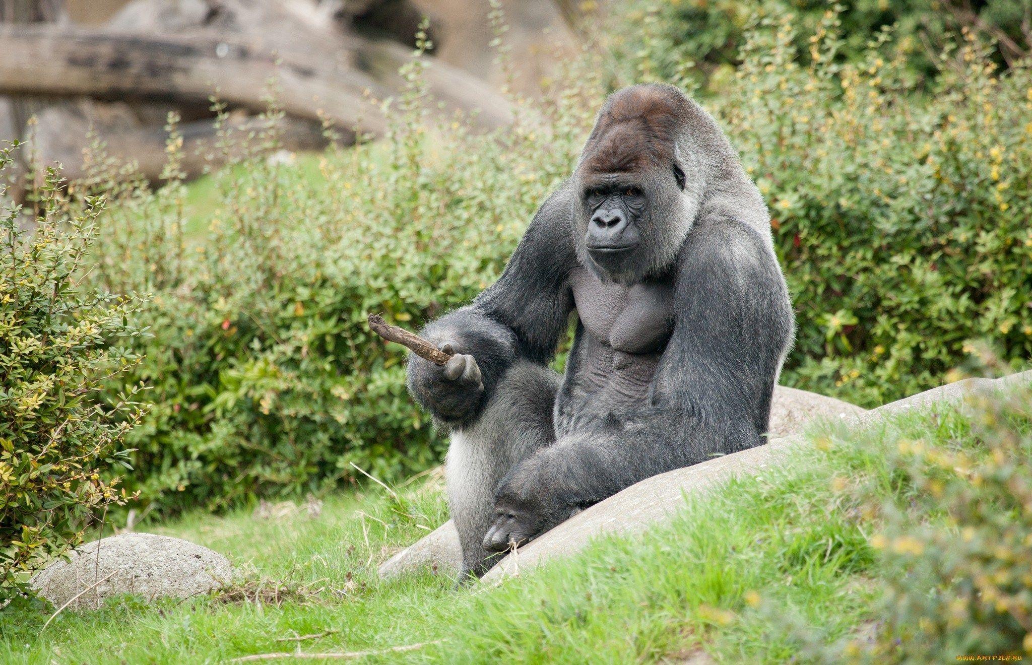 Gorilla Images For Desktop Background Tyler Turner 2017 03 14 Gorilla Wallpaper Gorilla Animals