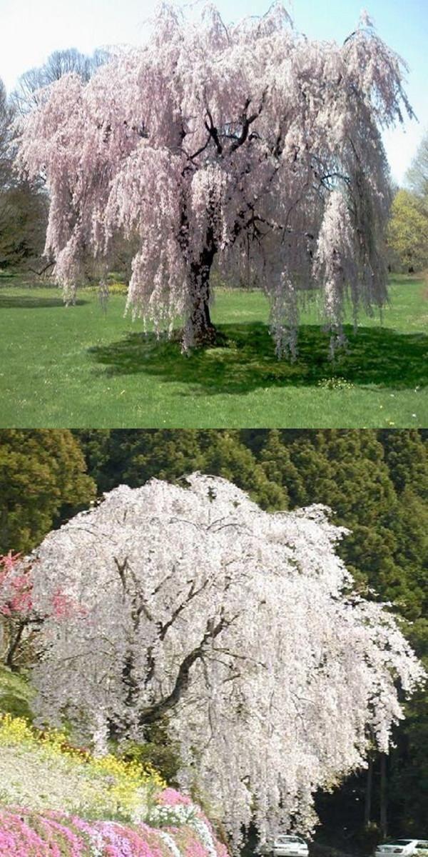 White fountain weeping cherry tree seeds,DIY Home Garden Dwarf