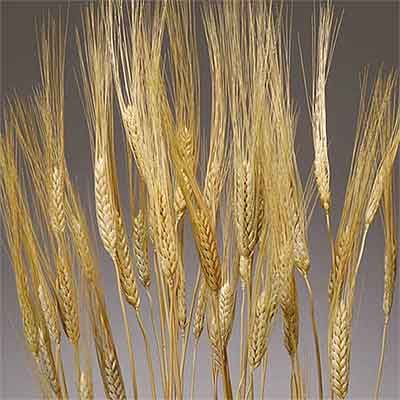 Dried Golden Wheat 20 Bundles Wholesale Wheat Bundle Wheat Decorations Dried Wheat