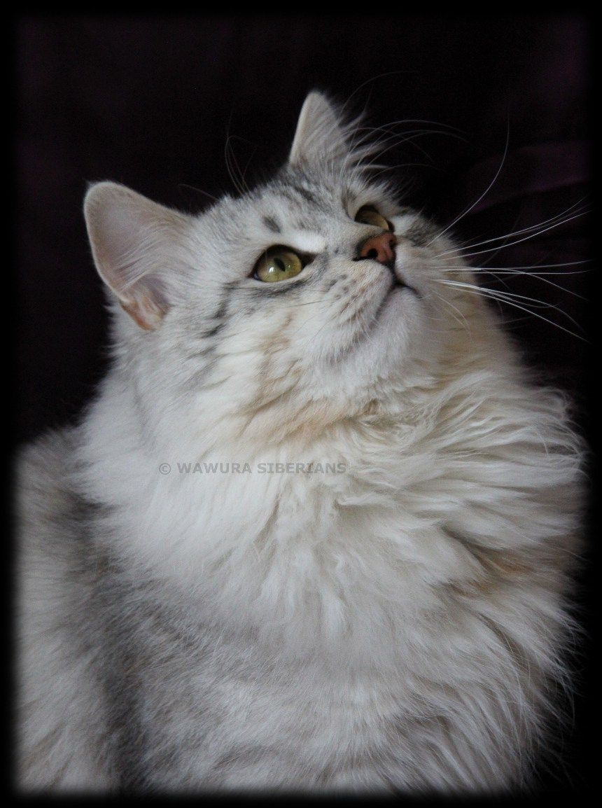 Siberian Cat Breeder London Allergy Sufferers