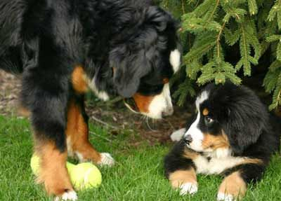 I Wasn T Doing Nothing Mommy I Swear Bernese Mountain Dog Mountain Dogs Dogs