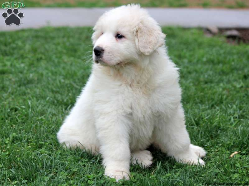 Fern Great Pyrenees Puppy For Sale In Pennsylvania Great