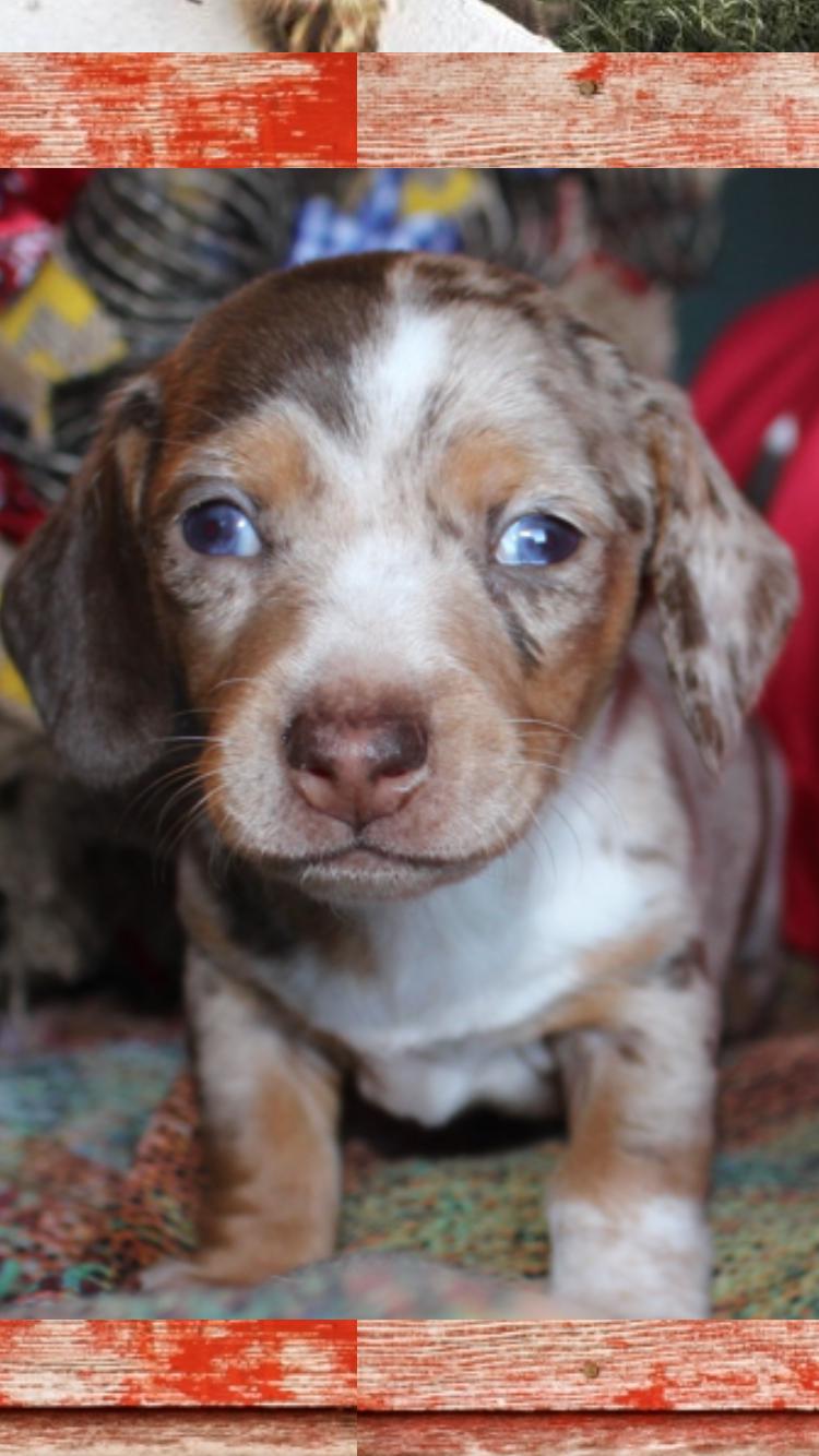 Patchwork Dapple Piebald Dachshund Dachshund Puppy Miniature Dachshund Puppies Dachshund