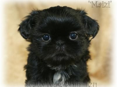 Black Shih Tzu Puppy Shih Tzu Puppy Black Shih Tzu Cute Animals