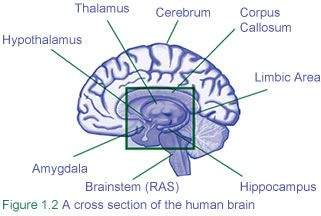 6 Major Parts of the Brain and How they Work   Brain ...