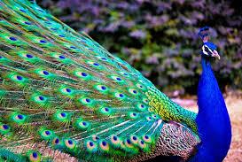 820+ Gambar Burung Merak Indah Terbaru