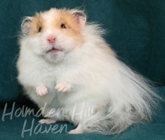 Long Haired Syrian Hamster Chap Golden Dominant Spot Longhaired Syrian Hamster Syrian Hamster Hamster Cute Hamsters