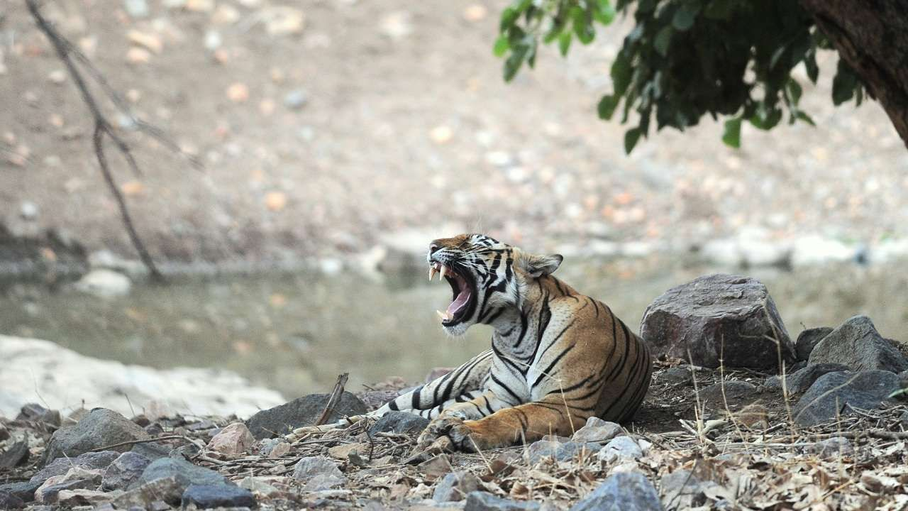 Wildlife Week 2019 India's tiger numbers have increased