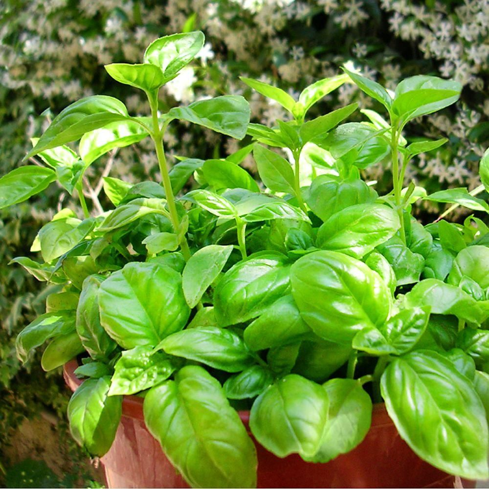 Bonnie Plants 45 in BasilSweet Plants Front yards and Basil