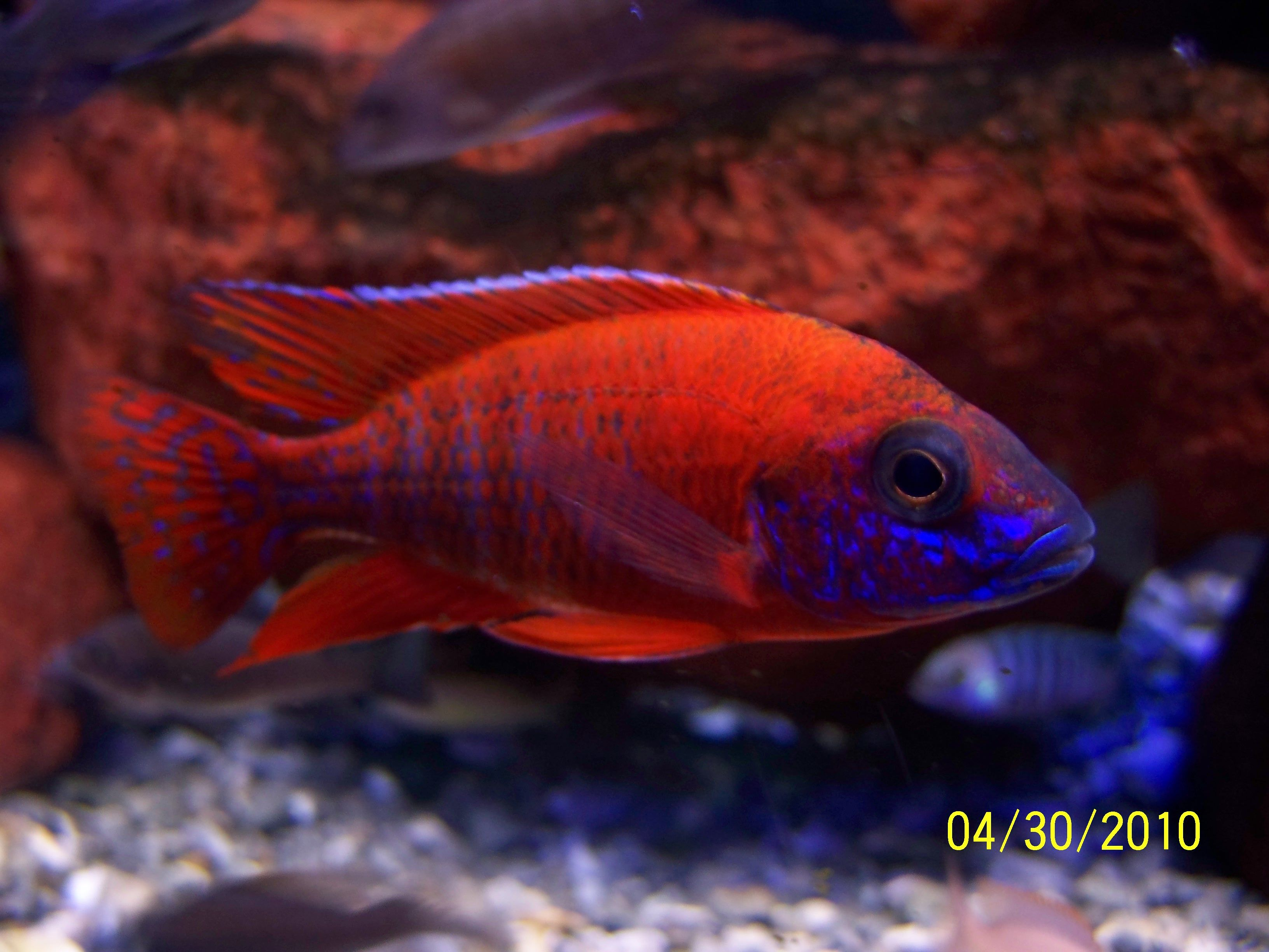 Ruby Red Cichlids Are A Haplochromis Cichlid And Are A Pleasure