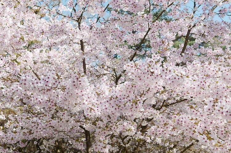 Prunus The Bride Flowering Cherry Ornamental Cherry Flowering Cherry Tree Blossom Trees