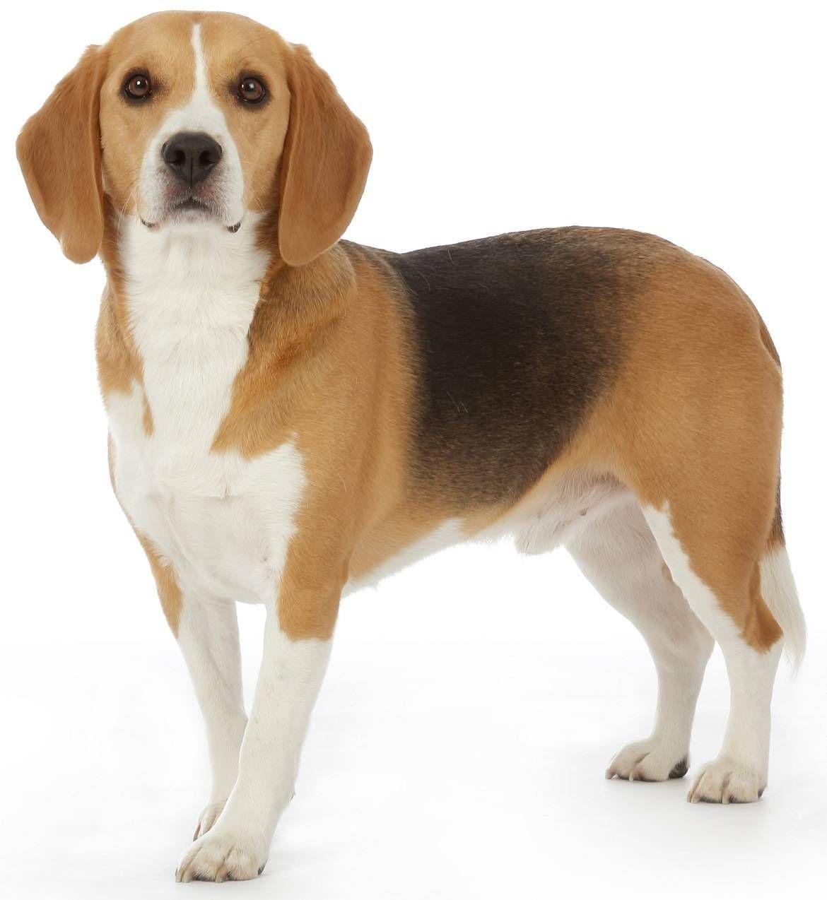 Beagle Beagle Dog Breed Beagle Puppy Beagle Dog
