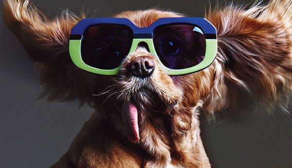 Cute Dog Models Sunglasses, Our Hearts Explode