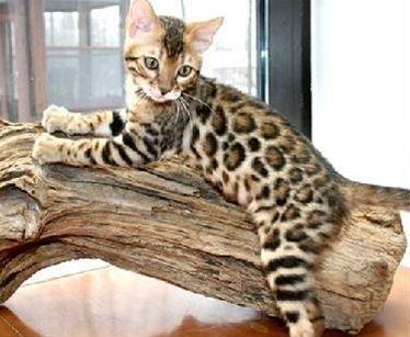 Petscarecenter Com Bengal Kitten Bengal Cat Kittens