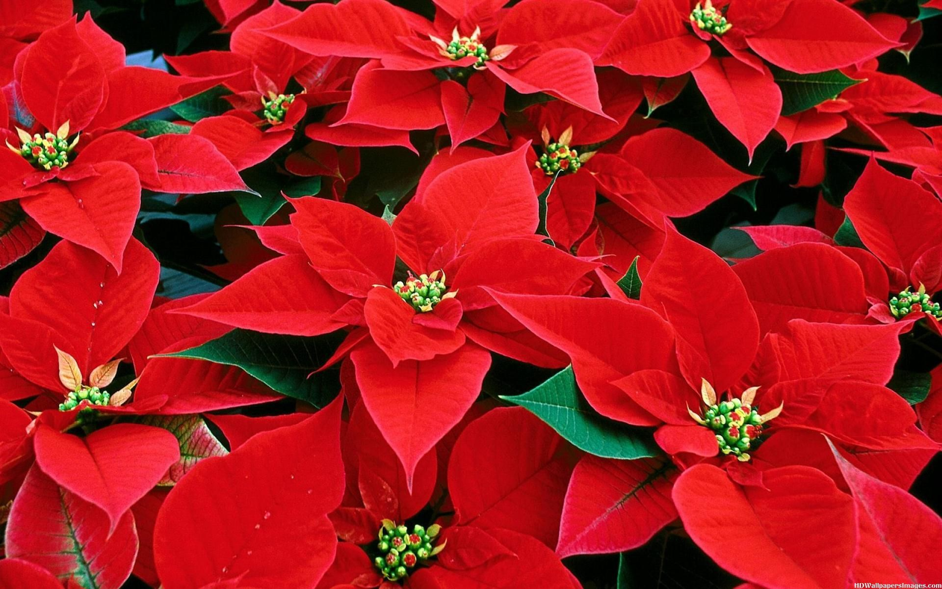 Poinsettias For The Holidays Poinsettia Holiday Red Glitter