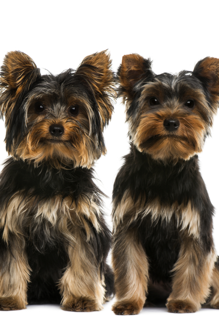 Two Yorkshire Terriers Yorkshireterrier Yorkshire Terrier Puppies Yorkshire Terrier Terrier