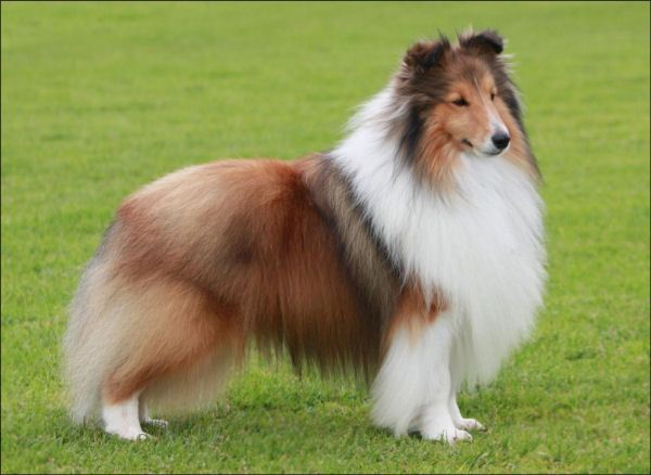 Pin On Border Collies Collies And Shetland Sheepdogs And More Love