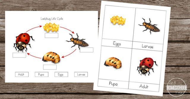 Free Ladybug Life Cycle Worksheets Ladybug Life Cycle Kindergarten Worksheets Kindergarten Worksheets Printable