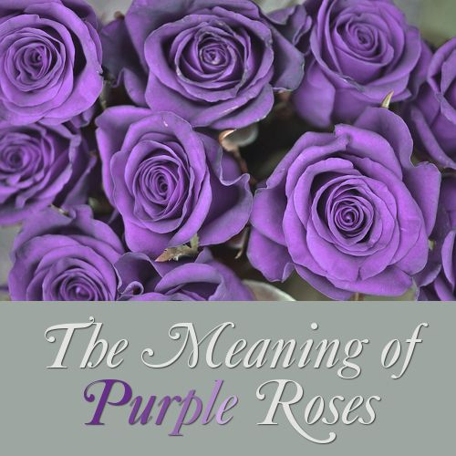 Purple Rose Flower Meaning And Symbolism Purple Roses Flower Meanings Rose Meaning