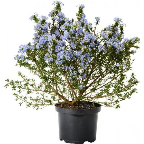 Ceanothus 'Puget Blue' 17 cm