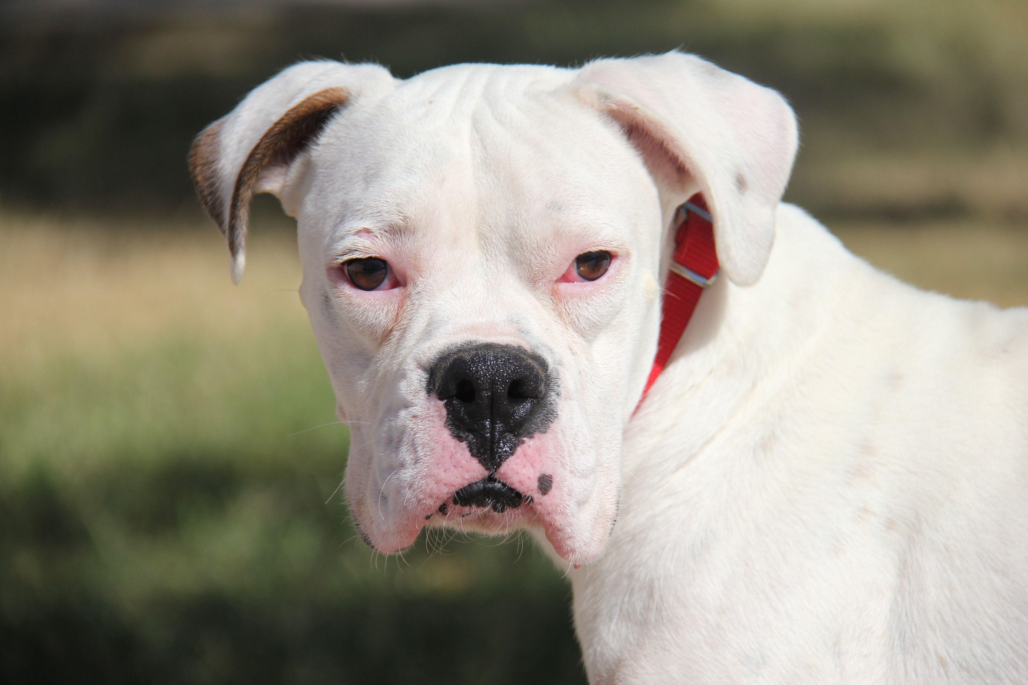 Boxer dog for Adoption in Phoenix, AZ. ADN696944 on