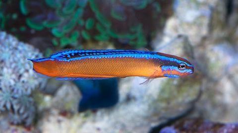 Buy Arabian Pseudochromis Online Saltwater Aquarium Fish And Coral Vivid Saltwater Fish For Sale Fish Saltwater Aquarium Fish