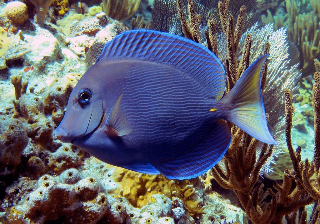 Blue Tang In Exuma Bahamas Exuma Bahamas Exuma Caribbean Travel
