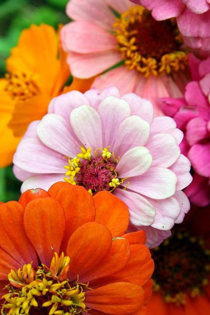 is this May ... Want fast color for just pennies? Plant zinnias! Light:Sun Zones:2-11 Plant Type:Annual Plant Height:From 1-4 feet tall, depending on type Plant Width:1 foot wide Landscape Uses:Containers,Beds & Borders Special Features:Flowers,Cut Flowers,Attracts Butterflies,Deer Resistant,Easy to Grow this May ... Want fast color for just pennies? Plant zinnias! Light:Sun Zones:2-11 Plant Type:Annual Plant Height:From 1-4 feet tall, depending on type Plant Width:1 foot wide Landscape Uses:Containers,Beds & Borders Special Features:Flowers,Cut Flowers,Attracts Butterflies,Deer Resistant,Easy to GrowW...