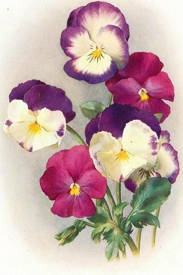 Pansy Watercolor Mix 1911 Floral Art Flower Art Flower Painting