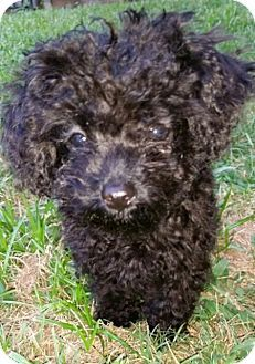 Fairview Heights Il Poodle Toy Or Tea Cup Mix Meet Betsy A